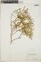 Croton linearis Jacq., Bahamas, P. Wilson 7803, F