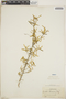 Croton linearis Jacq., Haiti, E. C. Leonard 3125, F