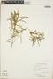 Croton linearis Jacq., Bahamas, D. S. Correll 44928, F
