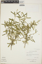 Croton linearis Jacq., Bahamas, D. S. Correll 45637, F