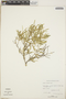 Croton linearis Jacq., Bahamas, D. S. Correll 43450, F