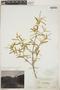 Croton linearis Jacq., Bahamas, N. L. Britton 2844, F