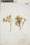 Croton linearis Jacq., Bahamas, N. L. Britton 2244, F