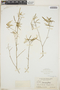 Croton linearis Jacq., Bahamas, N. L. Britton 2942, F
