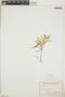 Croton linearis Jacq., Bahamas, H. F. A. von Eggers 4013, F