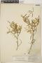 Croton linearis Jacq., Bahamas, J. I. Northrop 615, F