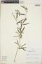 Croton linearis Jacq., Jamaica, V. Kapos 1590, F