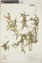Croton linearis Jacq., Dominican Republic, D. G. Burch 2482, F