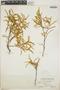 Croton linearis Jacq., Bahamas, C. F. Millspaugh 9275, F
