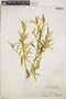 Croton linearis Jacq., Bahamas, C. F. Millspaugh 6164, F