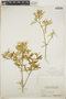 Croton linearis Jacq., Bahamas, C. F. Millspaugh 6189, F