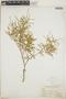 Croton linearis Jacq., Bahamas, N. L. Britton 304, F