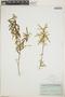 Croton linearis Jacq., Bahamas, C. F. Millspaugh 2154, F
