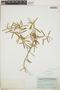 Croton linearis Jacq., Bahamas, C. F. Millspaugh 2407, F