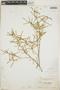 Croton linearis Jacq., Bahamas, N. L. Britton 2113, F