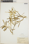 Croton linearis Jacq., Bahamas, P. Wilson 7945, F
