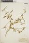 Croton linearis Jacq., Jamaica, W. R. Maxon 1591, F
