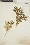 Croton linearis Jacq., Jamaica, W. R. Maxon 283, F