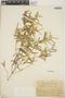 Croton linearis Jacq., Dominican Republic, E. L. Ekman H14468, F