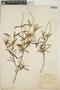 Croton linearis Jacq., Jamaica, W. H. Harris 5537, F