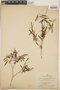 Croton linearis Jacq., Jamaica, W. H. Harris 6323, F
