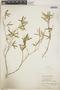 Croton linearis Jacq., Jamaica, W. H. Harris 9623, F