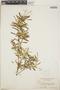 Croton linearis Jacq., Jamaica, N. L. Britton 790, F