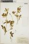 Croton linearis Jacq., Jamaica, N. L. Britton 4091, F