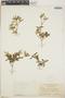 Croton linearis Jacq., Jamaica, N. L. Britton 1128, F
