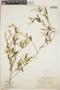 Croton linearis Jacq., Jamaica, N. L. Britton 1085, F