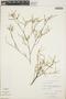 Croton linearis Jacq., Bahamas, D. S. Correll 45131, F