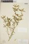 Croton linearis Jacq., Cayman Islands, J. D. Sauer 4154, F