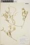 Croton linearis Jacq., Cayman Islands, J. D. Sauer 3332, F