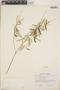 Croton linearis Jacq., Jamaica, T. G. Yuncker 17063, F