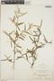 Croton linearis Jacq., Jamaica, N. L. Britton 370, F