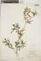 Croton linearis Jacq., Jamaica, W. H. Harris 9580, F