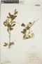 Croton linearis Jacq., Jamaica, W. H. Harris 10261, F