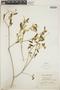 Croton linearis Jacq., Jamaica, W. H. Harris 9527, F