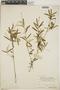 Croton linearis Jacq., Cayman Islands, C. F. Millspaugh 1312, F