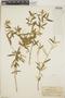 Croton linearis Jacq., Haiti, W. J. Eyerdam 496, F