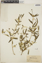 Croton linearis Jacq., Haiti, W. J. Eyerdam 467, F