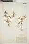 Croton linearis Jacq., Bahamas, J. T. Rothrock 252, F