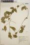 Dalechampia scandens L., Mexico, G. B. Hinton 4769, F