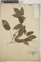 Dalechampia scandens L., Mexico, A. C. V. Schott 514B, F