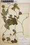 Dalechampia scandens L., Nicaragua, A. H. Heller 5244, F