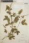 Dalechampia scandens L., Nicaragua, S. S. White 5366, F