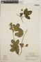 Dalechampia scandens L., Nicaragua, G. L. Webster 12077, F