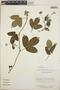 Dalechampia scandens L., Nicaragua, M. Araquistain 459, F