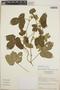 Dalechampia scandens L., Nicaragua, W. D. Stevens 3928, F