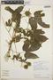 Dalechampia scandens L., Costa Rica, B. E. Hammel 19307, F